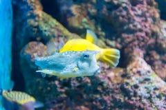 Άσπρος-επισημασμένοι καπνιστής & x28 Arothron hispidus& x29  Θαλάσσια ψάρια στο μπλε wa Στοκ εικόνες με δικαίωμα ελεύθερης χρήσης