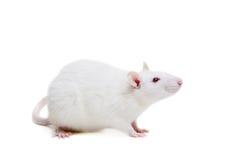 Άσπρος εργαστηριακός αρουραίος στο λευκό Στοκ Εικόνα