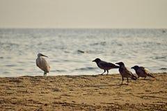 Άσπρος ερωδιός και μαύροι κόρακες στην παραλία στοκ φωτογραφία με δικαίωμα ελεύθερης χρήσης