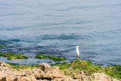 Άσπρος ερωδιός στην ακτή, Αβάνα, Κούβα Διάστημα αντιγράφων για το κείμενο Στοκ Φωτογραφίες