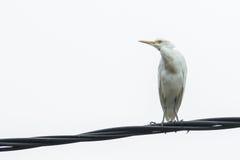 Άσπρος ερωδιός Στοκ Εικόνες