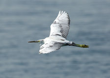 Άσπρος ερωδιός κατά την πτήση Στοκ εικόνες με δικαίωμα ελεύθερης χρήσης