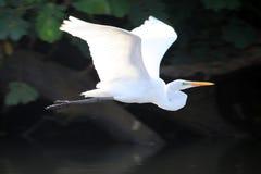 Άσπρος ερωδιός που πετά πέρα από το νερό στη Κόστα Ρίκα Στοκ εικόνες με δικαίωμα ελεύθερης χρήσης