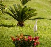 Άσπρος ερωδιός στον τομέα Στοκ Φωτογραφίες