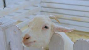 Άσπρος ζωολογικός κήπος αιγών σε επαφή απόθεμα βίντεο