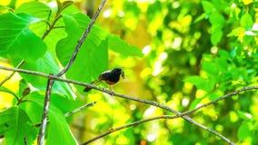 Άσπρος-η αναμονή πουλιών Shama για να δώσει τα τρόφιμα σε νέο του - γεννημένο πουλί απόθεμα βίντεο