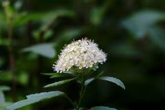 Άσπρος θάμνος λουλουδιών ομορφιάς την άνοιξη Στοκ Φωτογραφία