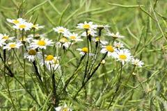 Άσπρος θάμνος chamomiles Στοκ φωτογραφία με δικαίωμα ελεύθερης χρήσης