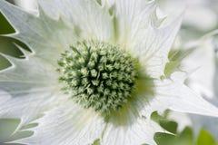 Άσπρος κάρδος, κάρδος Eryngium, άσπρο αστέρι Κλείστε επάνω στο λουλούδι Στοκ Φωτογραφία
