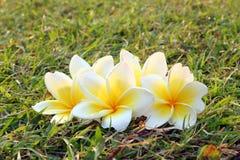 Άσπρος-κίτρινα λουλούδια του plumeria στη χλόη Στοκ εικόνα με δικαίωμα ελεύθερης χρήσης