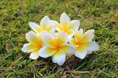 Άσπρος-κίτρινα λουλούδια του plumeria στη χλόη Στοκ εικόνες με δικαίωμα ελεύθερης χρήσης