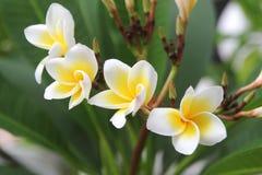 Άσπρος-κίτρινα λουλούδια του plumeria στον κλάδο στο πάρκο Στοκ Φωτογραφίες