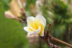 Άσπρος-κίτρινα λουλούδια του plumeria στον κλάδο στο πάρκο Στοκ φωτογραφία με δικαίωμα ελεύθερης χρήσης