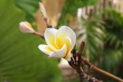 Άσπρος-κίτρινα λουλούδια του plumeria στον κλάδο στο πάρκο Στοκ Φωτογραφία