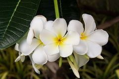 Άσπρος-κίτρινα λουλούδια του plumeria στον κλάδο στο πάρκο Στοκ εικόνα με δικαίωμα ελεύθερης χρήσης