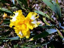 άσπρος κίτρινος ίριδων Στοκ Εικόνες