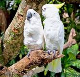 άσπρος κίτρινος παπαγάλων φύσης cockatoo λοφιοφόρος Στοκ Εικόνες