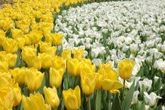 άσπρος κίτρινος τουλιπών Στοκ εικόνα με δικαίωμα ελεύθερης χρήσης