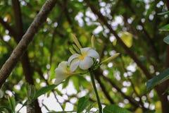 Άσπρος κίτρινος όμορφος λουλουδιών Plumeria στο δέντρο (κοινό όνομα poc Στοκ φωτογραφία με δικαίωμα ελεύθερης χρήσης