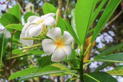 Άσπρος κίτρινος όμορφος λουλουδιών Plumeria στο δέντρο (κοινό όνομα poc Στοκ φωτογραφίες με δικαίωμα ελεύθερης χρήσης