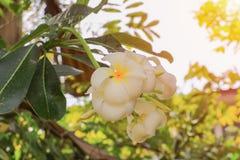 Άσπρος κίτρινος όμορφος λουλουδιών Plumeria στο δέντρο με τον ελαφρύ τόνο ηλιοβασιλέματος Κοινά pocynaceae ονόματος, Frangipani,  Στοκ Φωτογραφία