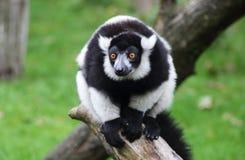 Άσπρος και μαύρος πίθηκος Στοκ φωτογραφία με δικαίωμα ελεύθερης χρήσης