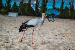 Άσπρος και μαύρος πελαργός στην παραλία Στοκ φωτογραφίες με δικαίωμα ελεύθερης χρήσης