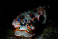 Άσπρος και πορτοκάλι nudibranch που σέρνεται στο σκοτάδι στοκ εικόνα με δικαίωμα ελεύθερης χρήσης