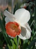Άσπρος και πορτοκάλι daffodil Στοκ φωτογραφία με δικαίωμα ελεύθερης χρήσης
