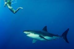 Άσπρος καρχαρίας έτοιμος να επιτεθεί στο κορίτσι snorkelist Στοκ φωτογραφία με δικαίωμα ελεύθερης χρήσης