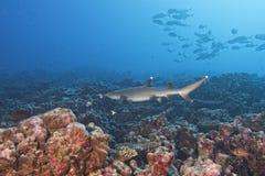 Άσπρος καρχαρίας ακρών Στοκ Φωτογραφίες