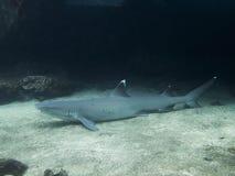 Άσπρος καρχαρίας σκοπέλων ακρών που στηρίζεται στο αμμώδες κατώτατο σημείο στοκ εικόνες
