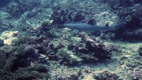 Άσπρος καρχαρίας σκοπέλων ακρών στο σημείο καρχαριών στο gili trawangan Στοκ Φωτογραφία