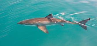 Άσπρος καρχαρίας Στοκ Εικόνες