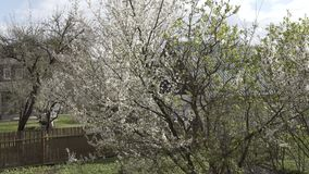 Άσπρος κλάδος δέντρων άνοιξη, δέντρο, λουλούδι, άσπρος, όμορφο, φύση, εγκαταστάσεις, κεράσι, άνθος, υπόβαθρο, floral φιλμ μικρού μήκους