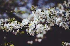Άσπρος κλάδος ενός ανθίζοντας δέντρου της Apple σε ένα σκοτεινό υπόβαθρο Κινηματογράφηση σε πρώτο πλάνο λουλουδιών της Apple Το κ στοκ εικόνες με δικαίωμα ελεύθερης χρήσης