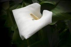 Άσπρος κρίνος της Calla Στοκ εικόνες με δικαίωμα ελεύθερης χρήσης