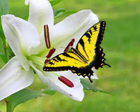 Άσπρος κρίνος Χριστουγέννων με μια πεταλούδα Swallowtail Στοκ φωτογραφίες με δικαίωμα ελεύθερης χρήσης