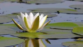 Άσπρος κρίνος ύδατος φιλμ μικρού μήκους
