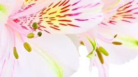 Άσπρος κρίνος Στοκ Φωτογραφία