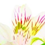 Άσπρος κρίνος Στοκ φωτογραφία με δικαίωμα ελεύθερης χρήσης