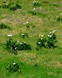 Άσπρος κρίνος arum Στοκ Εικόνες
