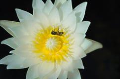 Άσπρος κρίνος Lotus ή νερού με την κίτρινα γύρη και το ζωύφιο Στοκ φωτογραφία με δικαίωμα ελεύθερης χρήσης