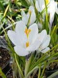 Άσπρος κρόκος Στοκ εικόνα με δικαίωμα ελεύθερης χρήσης