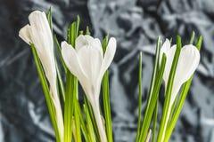 Άσπρος κρόκος Στοκ φωτογραφία με δικαίωμα ελεύθερης χρήσης
