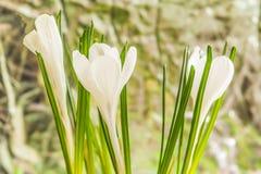 Άσπρος κρόκος Στοκ Φωτογραφίες