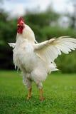 Άσπρος κόκκορας (κόκκορας) τα φτερά που διαδίδονται με Στοκ Εικόνες