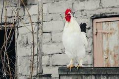 Άσπρος κόκκορας στην πύλη Στοκ Εικόνες