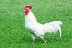 Άσπρος κόκκορας Στοκ φωτογραφία με δικαίωμα ελεύθερης χρήσης