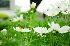 Άσπρος κόσμος με τη μικροσκοπική κίτρινη πεταλούδα στο πάρκο μεταξύ μιας όμορφης ημέρας στο υπόβαθρο θαμπάδων στοκ εικόνες